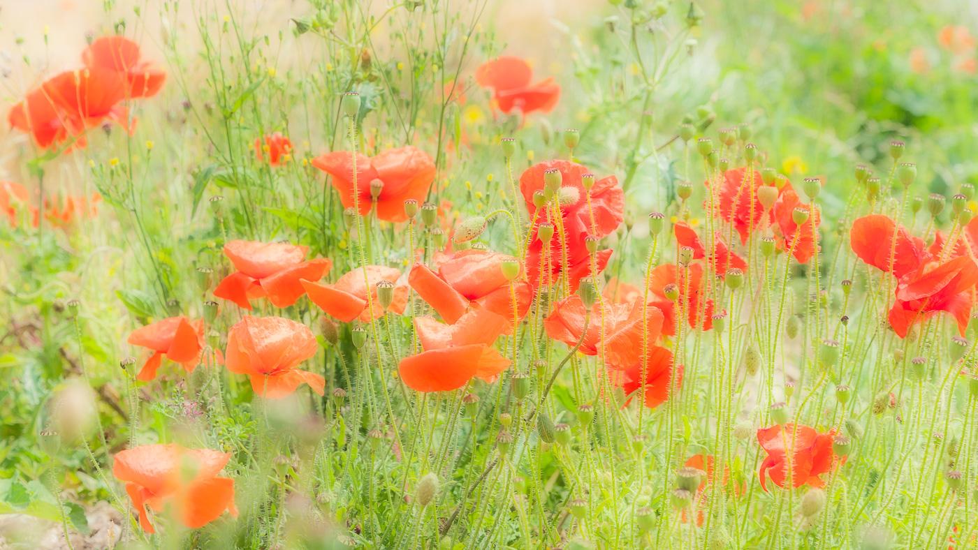 Poppies, near Wimborne, Dorset